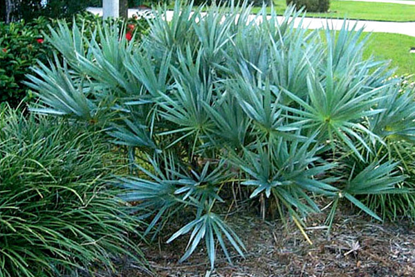 Silver Saw Palmetto - Palms | ALD Architectural Land Design Incorporated - Naples, Florida
