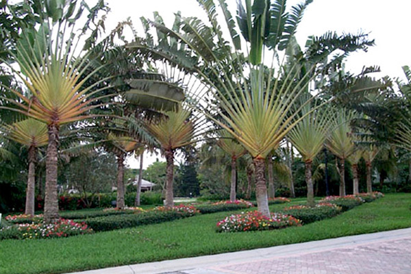 Travelers Palm - Palms | ALD Architectural Land Design Incorporated - Naples, Florida