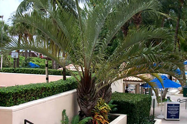 Triangle Palm - Palms | ALD Architectural Land Design Incorporated - Naples, Florida
