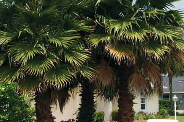 Washington Palm - Palms | ALD Architectural Land Design Incorporated - Naples, Florida