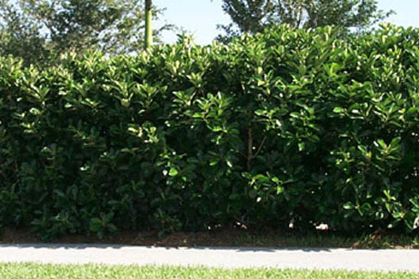 Awabuki - Shrubs | ALD Architectural Land Design Incorporated - Naples, Florida