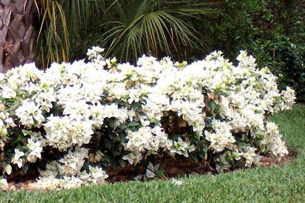 Bougainvillea White Miss Alice - Shrubs | ALD Architectural Land Design Incorporated - Naples, Florida