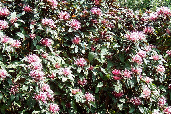 Clerodendrum - Shrubs | ALD Architectural Land Design Incorporated - Naples, Florida