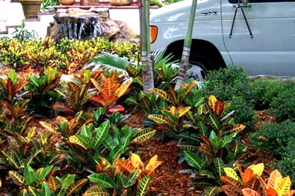 Croton Petra - Shrubs | ALD Architectural Land Design Incorporated - Naples, Florida