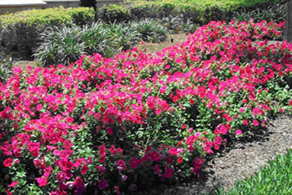 Bougainvillea Helen Johnson - Shrubs | ALD Architectural Land Design Incorporated - Naples, Florida