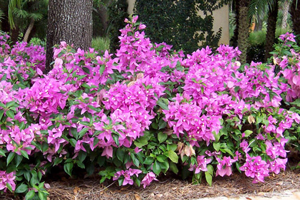 Bougainvillea Pink - Shrubs | ALD Architectural Land Design Incorporated - Naples, Florida