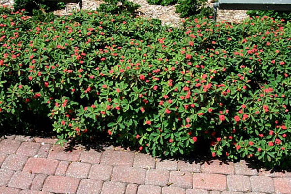 Dwarf Crown of Thorns - Shrubs | ALD Architectural Land Design Incorporated - Naples, Florida
