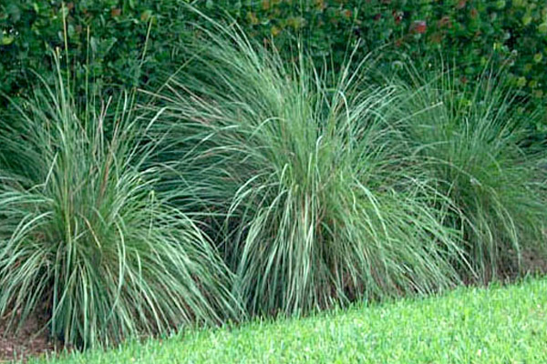 Fakachatchee Grass - Shrubs | ALD Architectural Land Design Incorporated - Naples, Florida