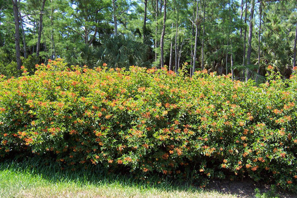Dwarf Firebrush - Shrubs | ALD Architectural Land Design Incorporated - Naples, Florida