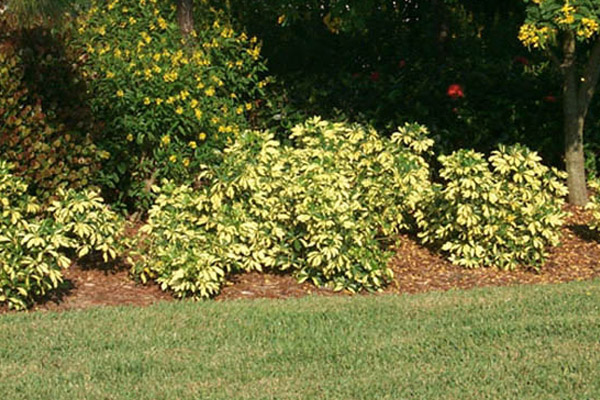 Dwarf Schefflera - Shrubs | ALD Architectural Land Design Incorporated - Naples, Florida