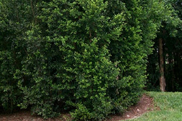 Eugenia - Shrubs | ALD Architectural Land Design Incorporated - Naples, Florida