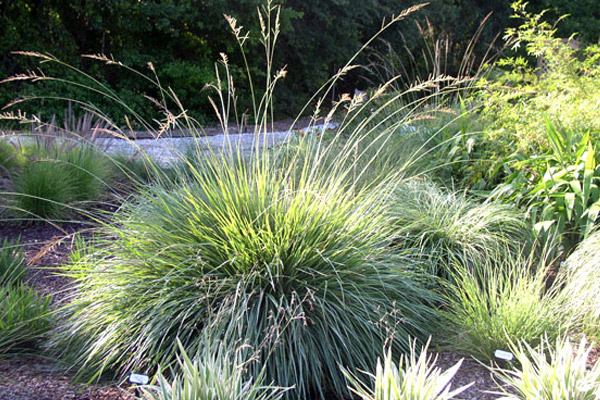 Evergreen Corwn Grass - Shrubs | ALD Architectural Land Design Incorporated - Naples, Florida