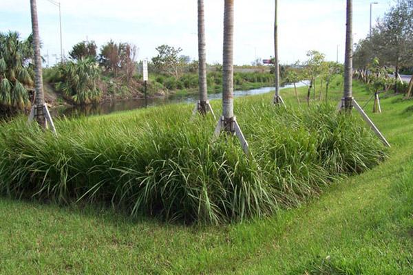 Fakachatchee Grass - Shrubs | ALD Architectural Land Design Incorporated - Naples, Florida