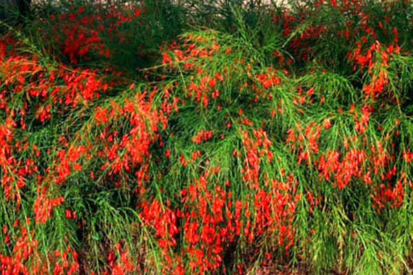 Firecracker Plant - Shrubs | ALD Architectural Land Design Incorporated - Naples, Florida