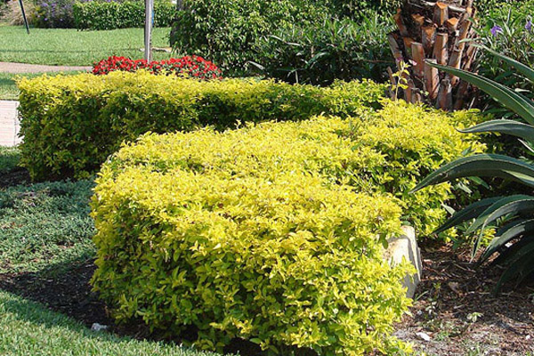 Golden Dewdrop Dwarf Gold Mound - Shrubs | ALD Architectural Land Design Incorporated - Naples, Florida