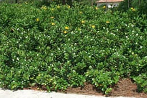 Island Ficus - Shrubs | ALD Architectural Land Design Incorporated - Naples, Florida