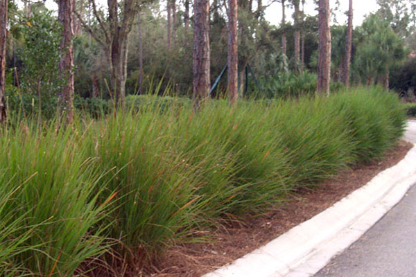 Half a Hachee Grass - Shrubs | ALD Architectural Land Design Incorporated - Naples, Florida
