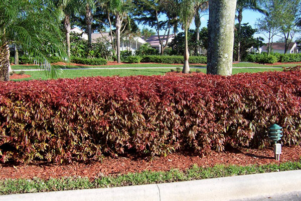 Heavenly Bamboo - Shrubs | ALD Architectural Land Design Incorporated - Naples, Florida