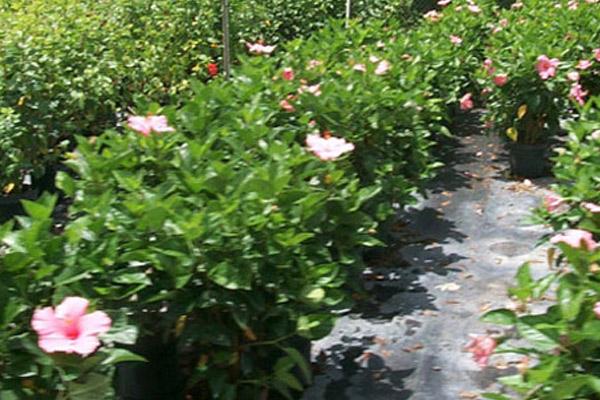 Hibiscus - Shrubs | ALD Architectural Land Design Incorporated - Naples, Florida