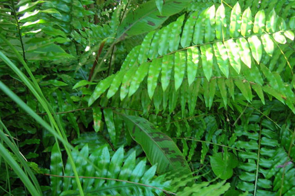 Leather Fern - Shrubs | ALD Architectural Land Design Incorporated - Naples, Florida