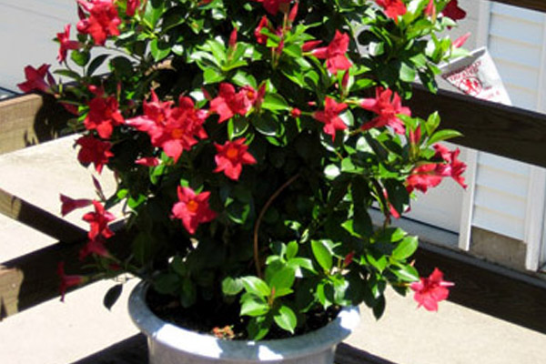 Mandevilla - Shrubs | ALD Architectural Land Design Incorporated - Naples, Florida