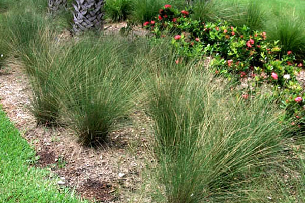 Muhly Grass - Shrubs | ALD Architectural Land Design Incorporated - Naples, Florida
