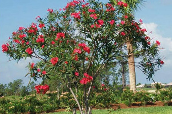 Oleander Calypso - Shrubs | ALD Architectural Land Design Incorporated - Naples, Florida