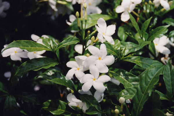 Pinwheel Jasmine - Shrubs | ALD Architectural Land Design Incorporated - Naples, Florida