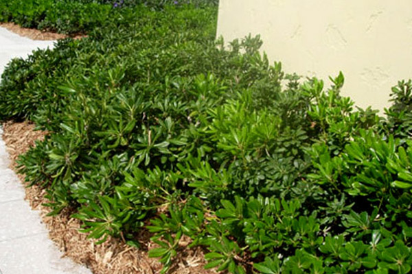 Pittosporum - Shrubs | ALD Architectural Land Design Incorporated - Naples, Florida