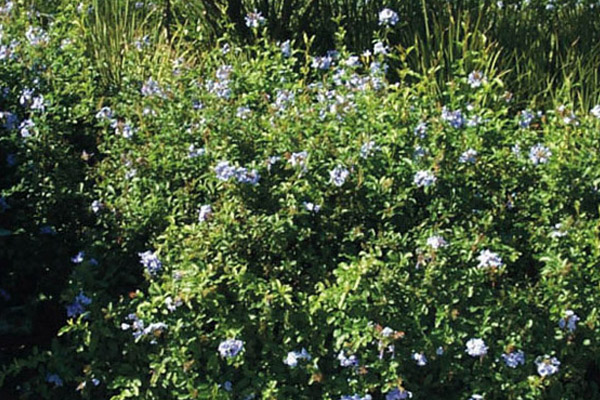 Plumbago - Shrubs | ALD Architectural Land Design Incorporated - Naples, Florida