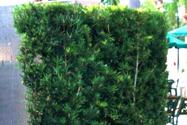 Podocarpus - Shrubs | ALD Architectural Land Design Incorporated - Naples, Florida