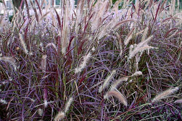 Red Fountain Grass - Shrubs | ALD Architectural Land Design Incorporated - Naples, Florida