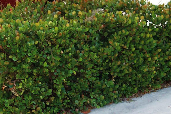 Red Tip Cocoplum - Shrubs | ALD Architectural Land Design Incorporated - Naples, Florida