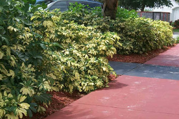 Schefflera Variegated - Shrubs | ALD Architectural Land Design Incorporated - Naples, Florida