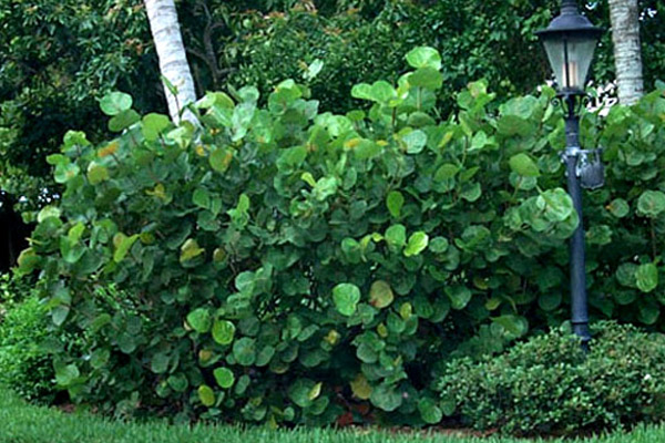 Sea Grape - Shrubs | ALD Architectural Land Design Incorporated - Naples, Florida