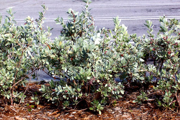 Silver Buttonwood - Shrubs | ALD Architectural Land Design Incorporated - Naples, Florida