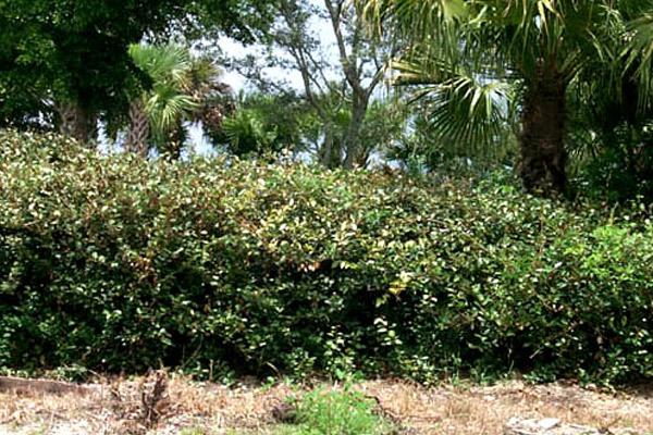 Silverthorn - Shrubs | ALD Architectural Land Design Incorporated - Naples, Florida