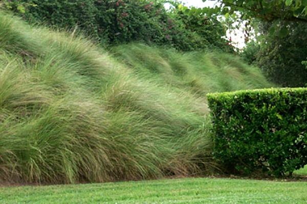 Spartina - Shrubs | ALD Architectural Land Design Incorporated - Naples, Florida