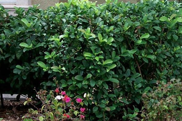 Sweet Viburnum - Shrubs | ALD Architectural Land Design Incorporated - Naples, Florida