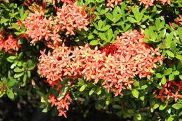 Taiwanese Dwarf Red Ixora - Shrubs | ALD Architectural Land Design Incorporated - Naples, Florida