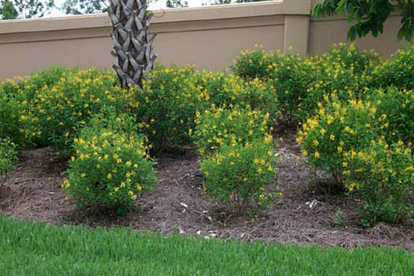 Thyrallis - Shrubs | ALD Architectural Land Design Incorporated - Naples, Florida