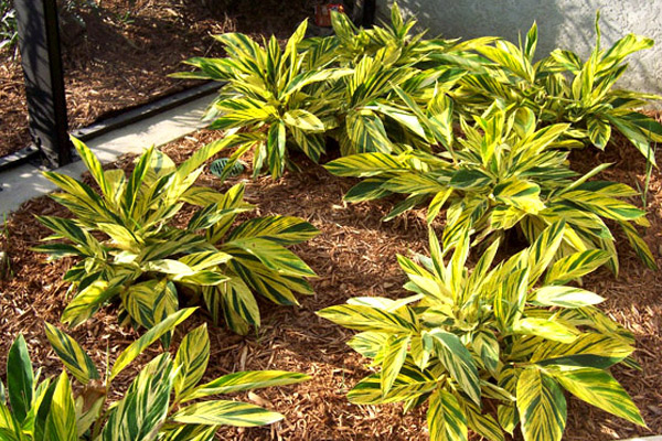 Variegated Ginger - Shrubs | ALD Architectural Land Design Incorporated - Naples, Florida