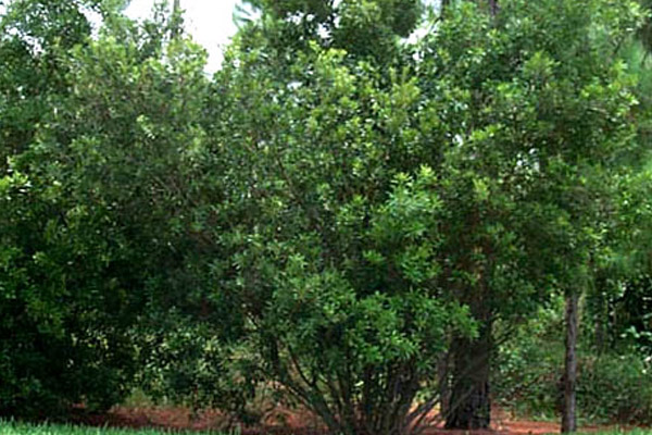 Wax Myrtle - Shrubs | ALD Architectural Land Design Incorporated - Naples, Florida
