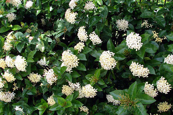 White Snowball Ixora - Shrubs | ALD Architectural Land Design Incorporated - Naples, Florida