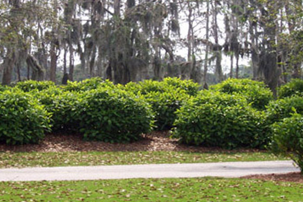 Wild Coffee - Shrubs | ALD Architectural Land Design Incorporated - Naples, Florida
