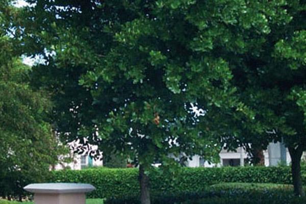 Calophyllum - Trees | ALD Architectural Land Design Incorporated - Naples, Florida