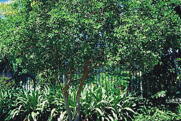 Cattley Guava - Trees | ALD Architectural Land Design Incorporated - Naples, Florida