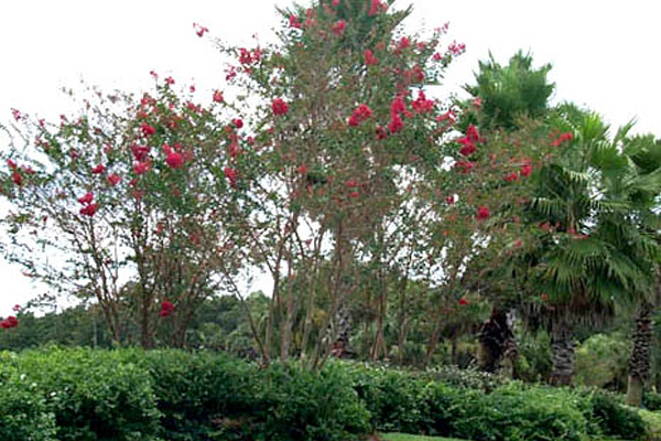 Cape Myrtle - Trees | ALD Architectural Land Design Incorporated - Naples, Florida