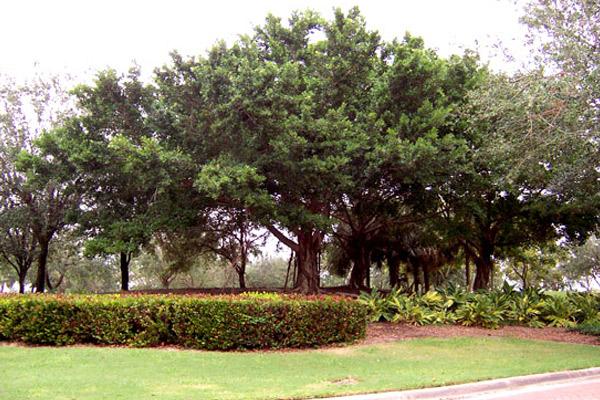 Cuban Laurel - Trees | ALD Architectural Land Design Incorporated - Naples, Florida