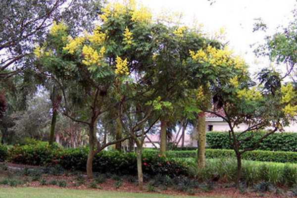 Golde Raintree - Trees | ALD Architectural Land Design Incorporated - Naples, Florida